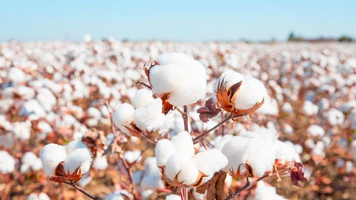 Trading Cotton Futures