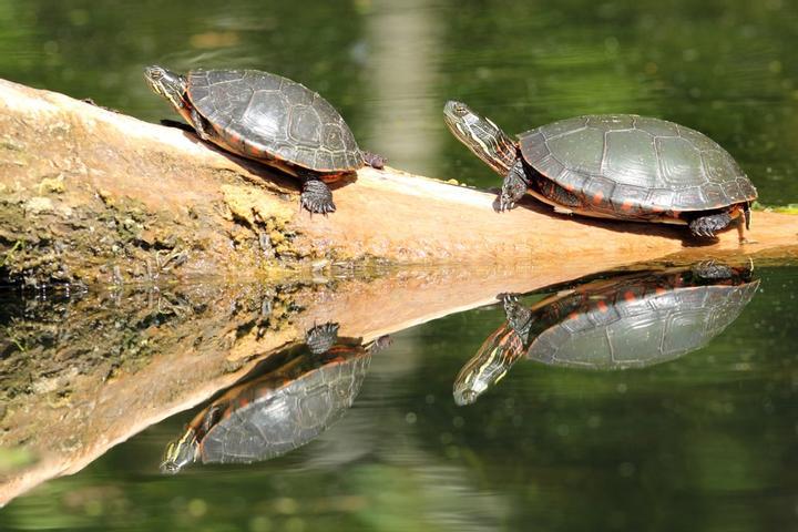 Индикатор канала Дончиана черепахи